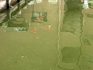 金魚が水面に群れています