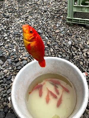 金魚が簡単に釣れます